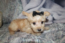 Skippy (Rylie) Female CKC Yorkipoo $2000 Ready 10/24 SOLD MY NEW HOME 2lbs 2oz 7W3D old