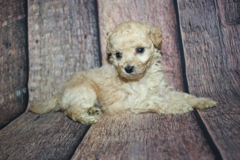 Wrangler (Tito) Male CKC Maltipoo $2000 Ready 10/28 HAS DEPOSIT MY NEW HOME CORAL GABLES, FL 1lb 5oz 4W5D old
