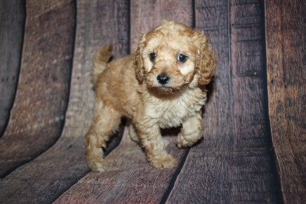 Milky Way Male CKC Mini Labradoodle $2000 Ready 10/23 HAS DEPOSIT MY NEW HOME JACKSONVILLE, FL 2lb 7.5oz 5 Weeks old