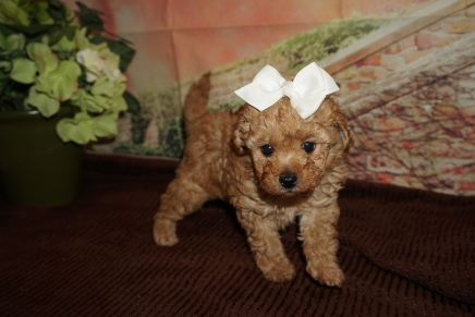 Autumn Female CKC Mini Labradoodle $2000 Ready 11/22 SOLD MY NEW HOME JACKSONVILLE FL 1lb 13oz 6W1D Old