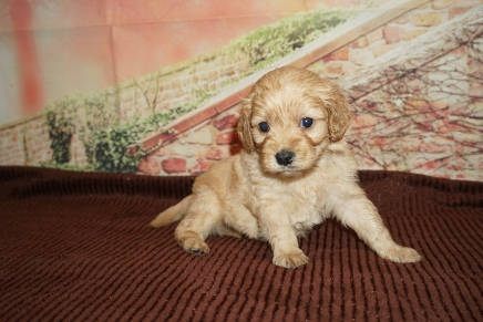 Cash Male Cavapoo $2000 Ready 12/8 HAS DEPOSIT MY NEW HOME JACKSONVILLE, FL 1lb 14oz 4W Old