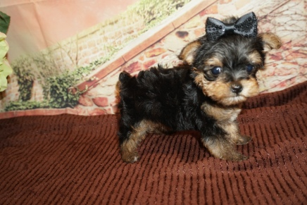 China Female CKC Yorkipoo $2000 Ready 11/21 SOLD MY NEW HOME ST SIMON ISLAND, GA 1lb 6W4D Old