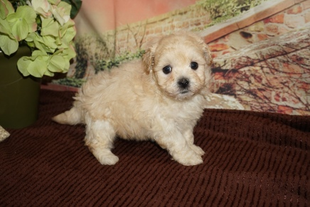 Ferrari Male CKC Havapoo $2000 Ready 11/23 HAS DEPOSIT MY NEW HOME VERA, FL 1lb 11oz 6W Old