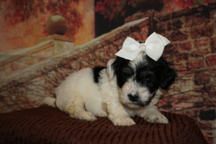 Giggles (Ellie) Female CKC Havanese $2000 Ready 12/4 HAS DEPOSIT MY NEW HOME ST JOHNS, FL 2lb 1oz 4W5D Old