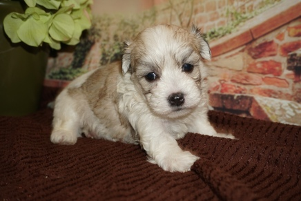 Hee Hee Male CKC Havamalt $2000 Ready 12/15 HAS DEPOSIT MY NEW HOME JACKSONVILLE, FL 1lb 7oz 4W Old