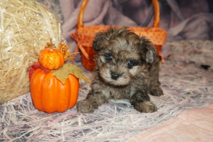 Hippy Male CKC Havapoo $2000 Ready 11/6 SOLD MY NEW HOME TAMPA, FL 1lb 14oz 7 Weeks Old
