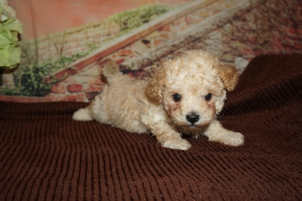 Jonathan Male CKC Maltipoo $2000 Ready 11/21 SOLD MY NEW HOME LAKELAND, FL 1lb 13oz 6W3D Old