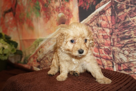 Money Male Cavapoo $2000 Ready 12/8 HAS DEPOSIT MY NEW HOME JACKSONVILLE, FL 2lb 4Weeks old