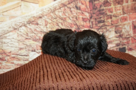Muffin Female CKC Morkipoo $2000 Ready 11/28 HAS DEPOSIT MY NEW HOME LONGBOAT KEY, FL 1lb 11oz 5W3D Old