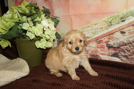 Gold Nugget (Amigo) Male Cavapoo $2000 Ready 12/8 HAS DEPOSIT MY NEW HOME JACKSONVILLE, FL 1lb 14oz 4W Old
