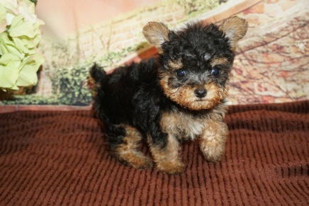 Paris (Maxine) Female CKC Yorkipoo $2000 Ready 11/21 HAS DEPOSIT MY NEW HOME ST AUGUSTINE, FL 1lb 5oz 6W4D Old