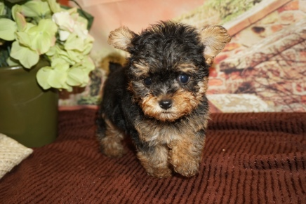 Peru Male CKC Yorkipoo $2000 Ready 11/21 SOLD MY NEW HOME JACKSONVILLE, FL 1lb 7oz 6W4D Old