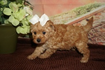Autumn Female Female CKC Mini Labradoodle $2000 Ready 11/22 HAS DEPOSIT MY NEW HOME JACKSONVILLE FL 1lb 13oz 6W1D Old