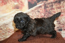 Bagel Male CKC Morkipoo $2000 Ready 11/28 HAS DEPOSIT MY NEW HOME JACKSONVILLE, FL 1lb 9oz 5W3D Old