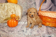 Chili Pepper Male CKC Mini Labradoodle $2000 Ready 11/22 HAS DEPOSIT MY NEW HOME JACKSONVILLE FL 1lb 8oz 4W2D Old