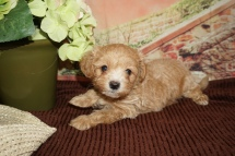 Drew Male CKC Maltipoo $2000 Ready 11/21 SOLD MY NEW HOME SAN JOSE, CA 2lb 1oz 6W3D Old