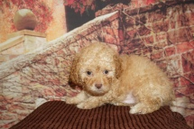 George Strait (Milo) Male CKC Malshipoo $2000 Ready 11/20 HAS DEPOSIT MY NEW HOME JACKSONVILLE, FL 2lb 1oz 6W4D Old