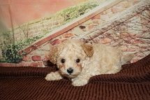 Jonathan Male CKC Maltipoo $2000 Ready 11/21 HAS DEPOSIT MY NEW HOME LAKELAND, FL 1lb 13oz 6W3D Old
