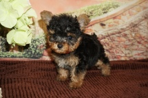 Paris (Maxine) Female CKC Yorkipoo $2000 Ready 11/21 SOLD MY NEW HOME ST AUGUSTINE, FL 1lb 5oz 6W4D Old