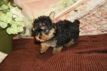 Peru Male CKC Yorkipoo $2000 Ready 11/21 HAS DEPOSIT MY NEW HOME JACKSONVILLE, FL 1lb 7oz 6W4D Old