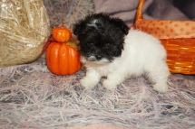 Pippy Female CKC Havapoo $2000 Ready 11/6 SOLD 1lb 2oz 7 Weeks Old