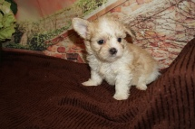 Sawyer Male Miki $2000 Ready 11/28 HAS DEPOSIT MY NEW HOME JACKSONVILLE, FL 1lb 12oz 6W3D Old