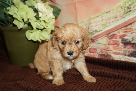 Dollar (Buddy) Male Cavapoo $2000 Ready 12/8 HAS DEPOSIT MY NEW HOME 1lb 10oz 4W Old