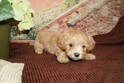 Drew Male CKC Maltipoo $2000 Ready 11/21 HAS DEPOSIT MY NEW HOME SAN JOSE, CA 2lb 1oz 6W3D Old