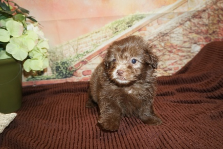 Glen Campbell Male CKC Malshipoo $2000 Ready 11/20 HAS DEPOSIT MY NEW HOME JACKSONVILLE BEACH, FL 1lb 13oz 6W4D Old