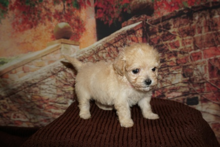 Porsche Female CKC Havapoo $2000 Ready 11/23 HAS DEPOSIT MY NEW HOME 1lb 3oz 6W Old