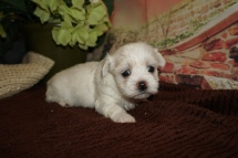 Tickles Female CKC Havamalt $2000 Ready 12/15 HAS DEPOSIT MY NEW HOME JACKSONVILLE, FL 1lb 6oz 4W Old
