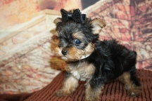 China Female CKC Yorkipoo $2000 Ready 11/21 HAS DEPOSIT MY NEW HOME ST SIMON ISLAND, GA 1lb 6W4D Old