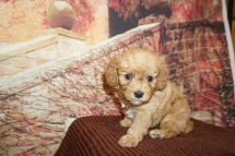 Dollar (Buddy) Male Cavapoo $2000 Ready 12/8 HAS DEPOSIT MY NEW HOME PLEASANT HILL, CA 1lb 10oz 4W Old