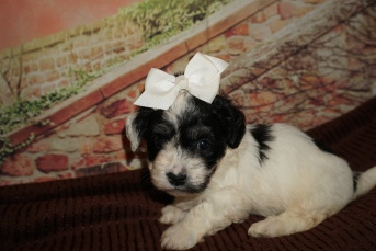 Giggles (Elli) Female CKC Havanese $2000 Ready 12/4 HAS DEPOSIT MY NEW HOME ST JOHNS, FL 2lb 1oz 4W5D Old