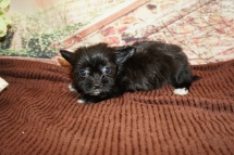 Sofia Female Miki $2000 Ready 11/28 HAS DEPOSIT MY NEW HOME HASTINGS, FL, 1lb 7oz 6W3D Old