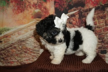 Harvest (Olive) Female CKC Teddy Bear (Shihcon) $2000 Ready 11/24 HAS DEPOSIT MY NEW HOME CLEARWATER, FL 2lb 10oz 6W1D Old