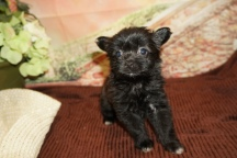 Sadie (Maggie) Female Miki $2000 Ready 11/28 HAS DEPOSIT MY NEW HOME JACKSONVILLE BEACH, FL 1lb 7oz 6W3D Old