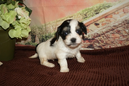 Wiggles (Oreo) Male CKC Havanese $2000 Ready 12/4 HAS DEPOSIT MY NEW HOME JACKSONVILLE, FL 2lb 1oz 4W5D Old