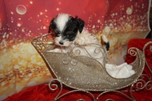 Jiggles Male CKC Havanese $2000 Ready 12/4 HAS DEPOSIT MY NEW HOME RIVERVIEW, FL 1lb 6oz 6W4D Old