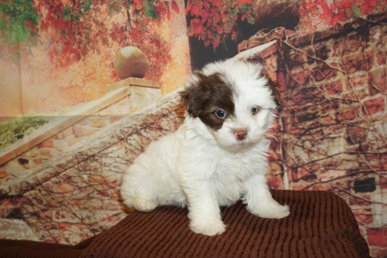 Kenny Rogers Male CKC Malshipoo $2000 Ready 11/20 HAS DEPOSIT MY NEW HOME JACKSONVILLE BEACH, FL 2lb 3oz 6W4D Old