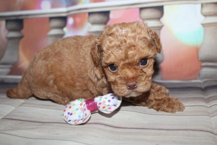 Blessing Female CKC Maltipoo $2000 Ready 1/21 HAS DEPOSIT MY NEW HOME THE VILLAGES, FL 1lb 2.6oz 4W5D Old