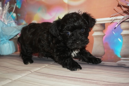 Coffee Male CKC Schnoodle $2000 Ready 1/09 SOLD MY NEW HOME MIDDLEBURG, FL 2lb 6W4D Old