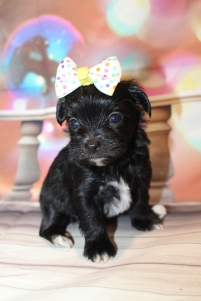 Ella Female CKC Shorkipoo $2000 Ready 1/22 HAS DEPOSIT MY NEW HOME COCO BEACH, FL 1lb 8oz 4W4D old