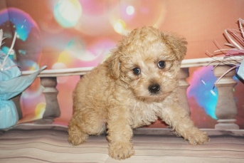 Espresso Male CKC Schnoodle $2000 Ready 1/09 SOLD MY NEW HOME FL 2lb 9oz 6W4D Old