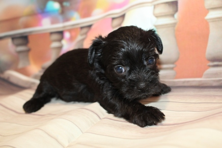 Eva (Molly) Female CKC Shorkipoo $2000 Ready 1/22 HAS DEPOSIT MY NEW HOME JACKSONVILLE, FL 1lb 10oz 4W4D old