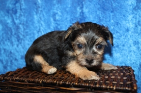 Ezra (Odie) Male CKC Shorkipoo $2000 Ready 1/22 HAS DEPOSIT MY NEW HOME JACKSONVILLE, FL 1lb 8.5oz 4W4D old