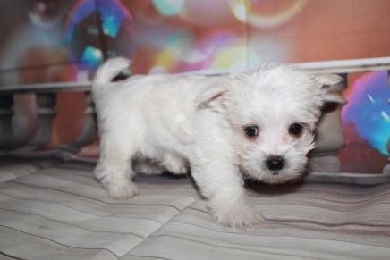 George Male CKC Morkie $2000 Ready 1/13 HAS DEPOSIT MY NEW HOME VISTA, CA 1lb 15oz 6 Weeks old