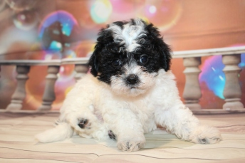 Guard (Peace) Male CKC Malshipoo $2000 Ready 1/8 HAS DEPOSIT MY NEW HOME NEWPORT NEWS, VA 2lbs 6W5D old
