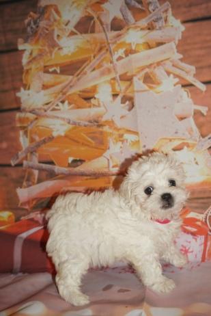 1 Joy 1lb 15oz 7 weeks old (12)