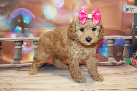 Missy (Bella Rose) Female CKC Toy Poodle $2000 Ready 1/12 SOLD MY NEW HOME JACKSONVILLE, FL 2lb 7.5oz 6 Wks old